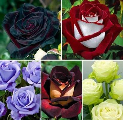 Саженцы роз оптомпо самым низким ценам уже в продаже!