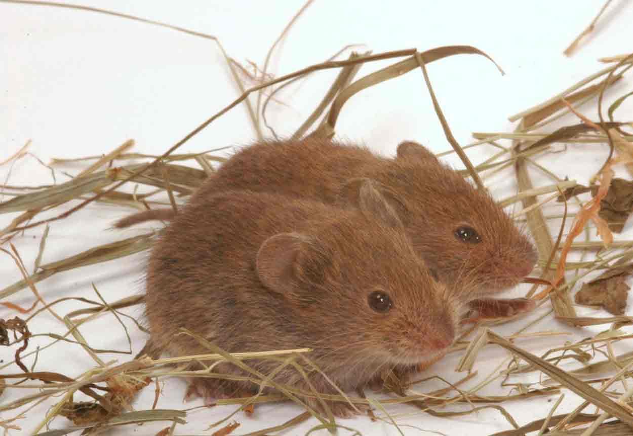 ловим мышей полевок